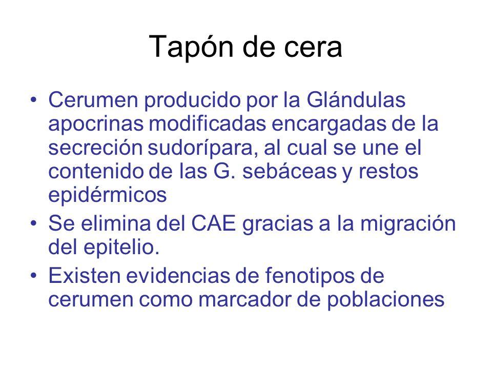Tapón de cera Cerumen producido por la Glándulas apocrinas modificadas encargadas de la secreción sudorípara, al cual se une el contenido de las G. se
