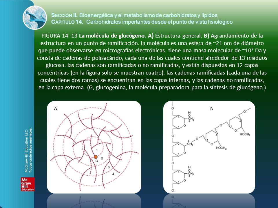 FIGURA 14–13 La molécula de glucógeno. A) Estructura general. B) Agrandamiento de la estructura en un punto de ramificación. la molécula es una esfera