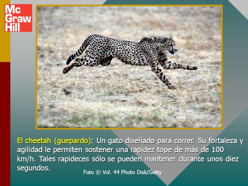 El cheetah (guepardo): Un gato diseñado para correr.