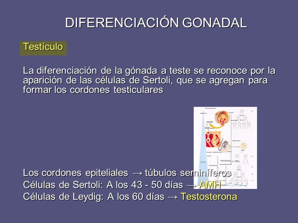 DIFERENCIACIÓN GONADAL Testículo La diferenciación de la gónada a teste se reconoce por la aparición de las células de Sertoli, que se agregan para fo