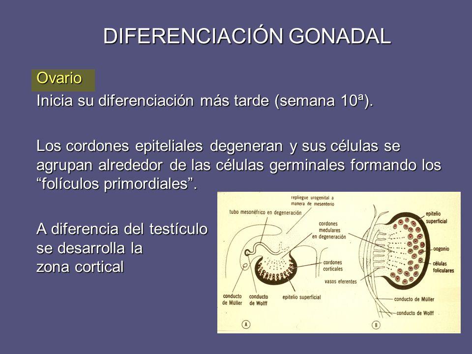 DIFERENCIACIÓN GONADAL Ovario Inicia su diferenciación más tarde (semana 10ª). Los cordones epiteliales degeneran y sus células se agrupan alrededor d