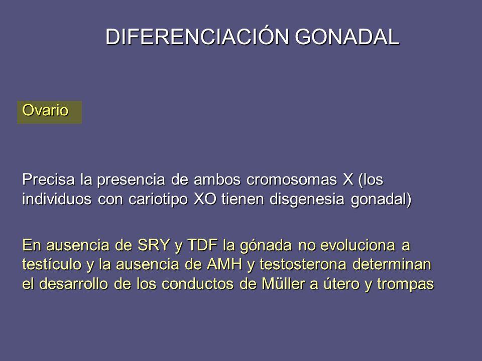 DIFERENCIACIÓN GONADAL Ovario Precisa la presencia de ambos cromosomas X (los individuos con cariotipo XO tienen disgenesia gonadal) En ausencia de SR