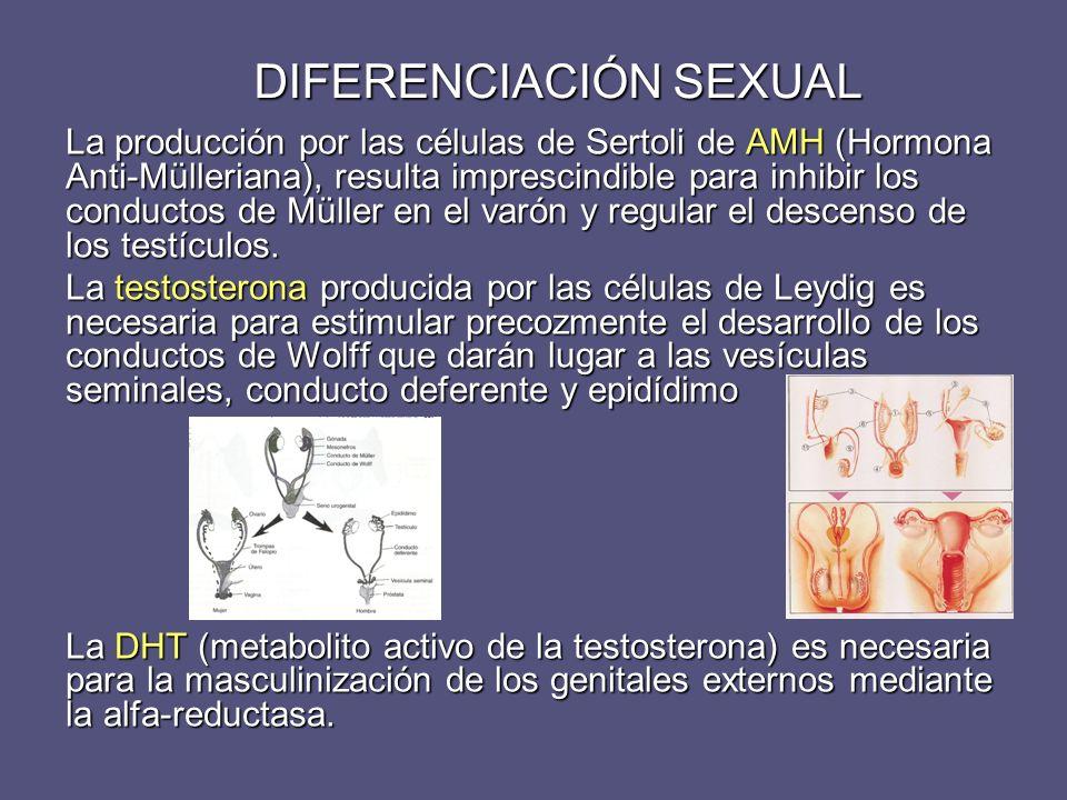 DIFERENCIACIÓN SEXUAL La producción por las células de Sertoli de AMH (Hormona Anti-Mülleriana), resulta imprescindible para inhibir los conductos de
