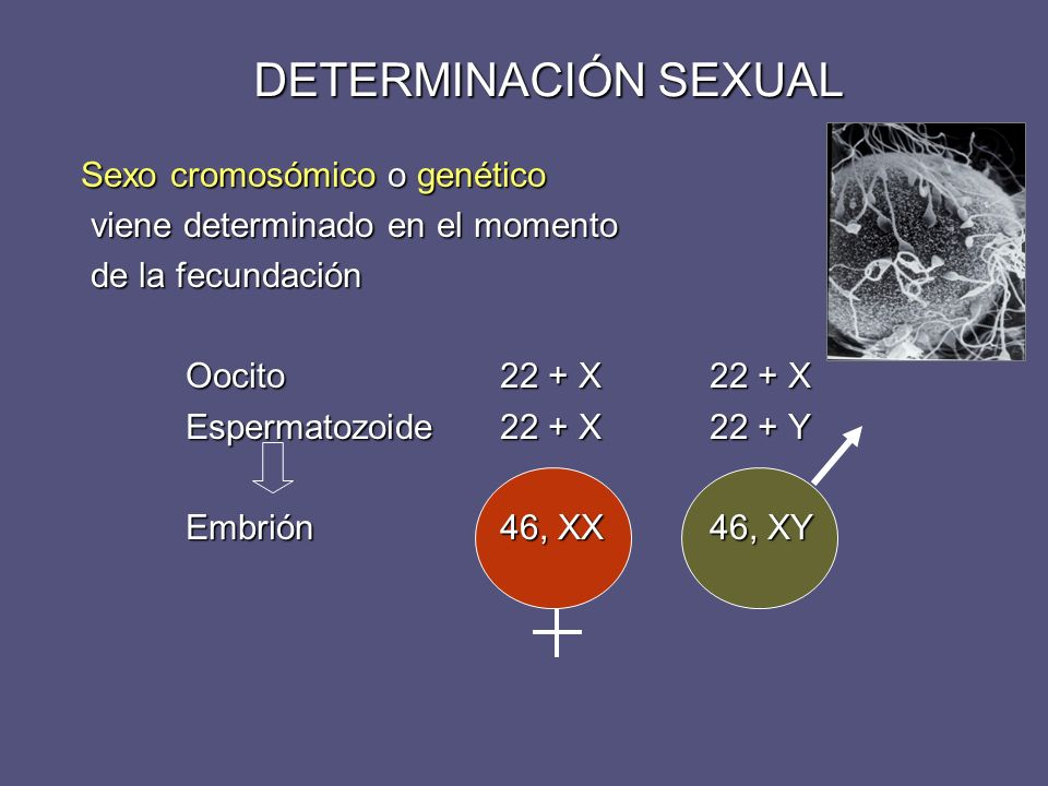 DETERMINACIÓN SEXUAL Sexo cromosómico o genético viene determinado en el momento viene determinado en el momento de la fecundación de la fecundación O
