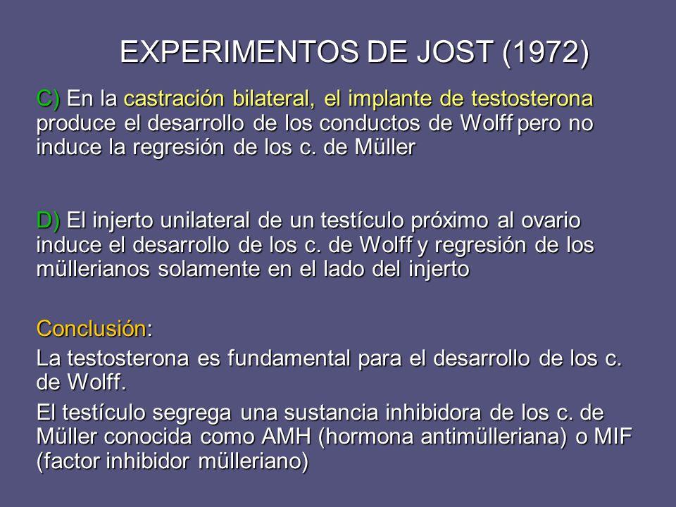 EXPERIMENTOS DE JOST (1972) C) En la castración bilateral, el implante de testosterona produce el desarrollo de los conductos de Wolff pero no induce