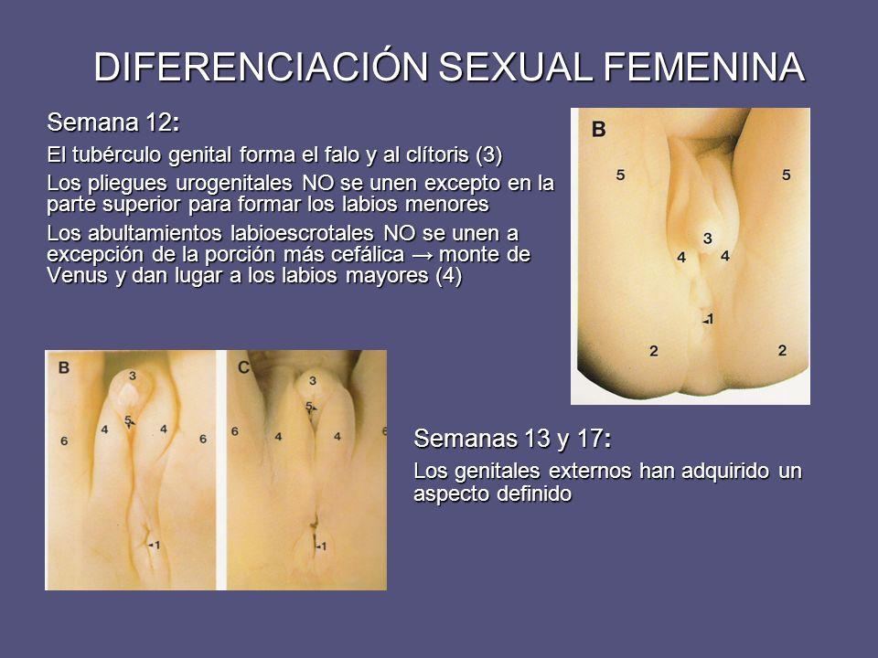 DIFERENCIACIÓN SEXUAL FEMENINA Semana 12: El tubérculo genital forma el falo y al clítoris (3) Los pliegues urogenitales NO se unen excepto en la part