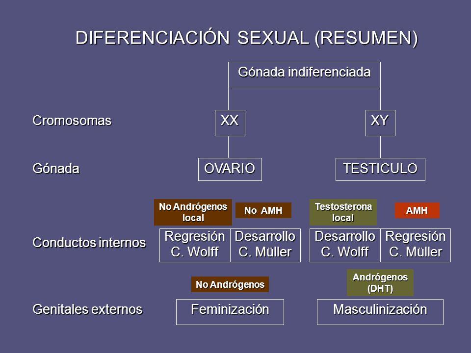 DIFERENCIACIÓN SEXUAL (RESUMEN) Gónada indiferenciada Genitales externos Conductos internos Gónada Cromosomas Feminización OVARIO XXXY TESTICULO Regre