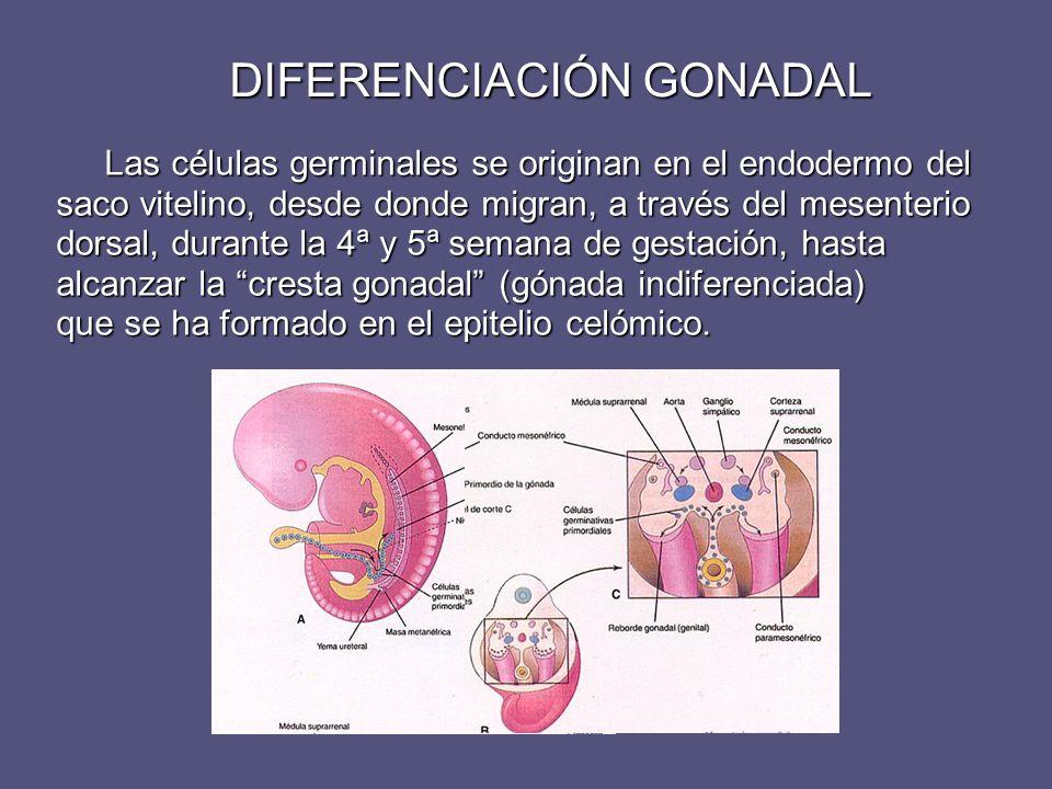DIFERENCIACIÓN GONADAL Las células germinales se originan en el endodermo del saco vitelino, desde donde migran, a través del mesenterio dorsal, duran