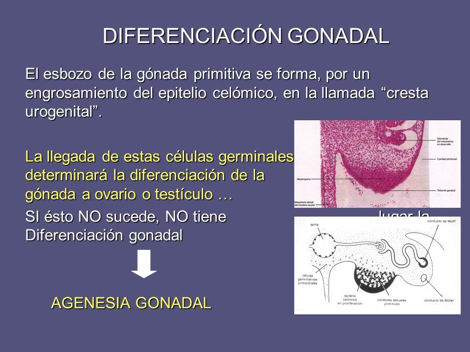 DIFERENCIACIÓN GONADAL Testículo Inicia su diferenciación en la semana 7ª Precisa de la presencia del gen SRY (Región determinante sexual del cromosoma Y) situado en el brazo corto del Y.