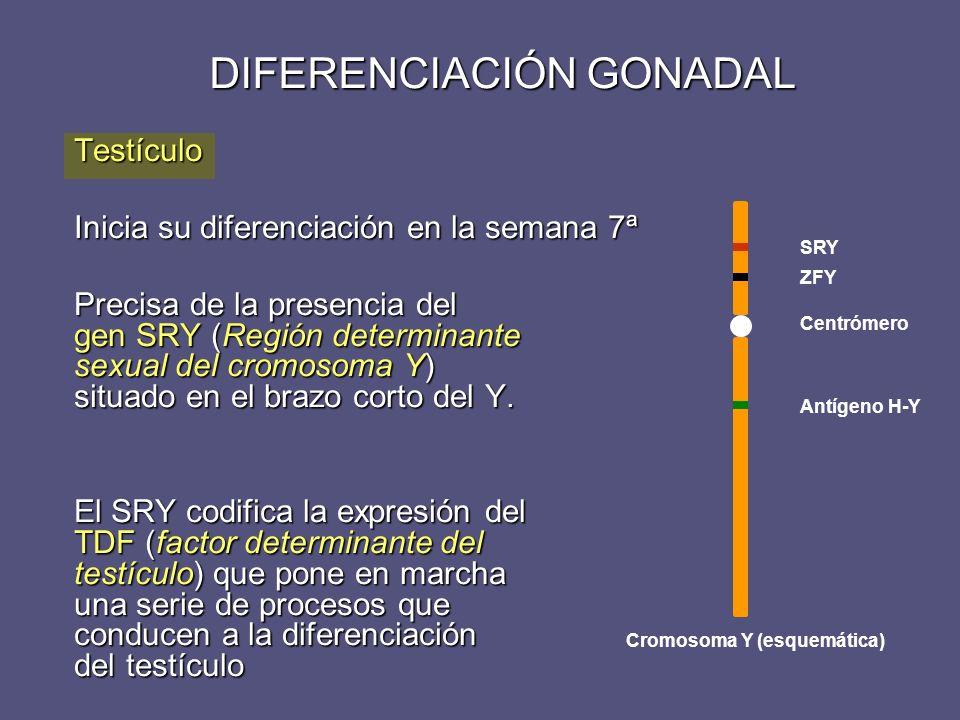 DIFERENCIACIÓN GONADAL Testículo Inicia su diferenciación en la semana 7ª Precisa de la presencia del gen SRY (Región determinante sexual del cromosom