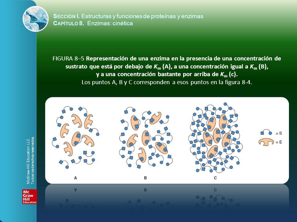 FIGURA 8–5 Representación de una enzima en la presencia de una concentración de sustrato que está por debajo de K m (A), a una concentración igual a K