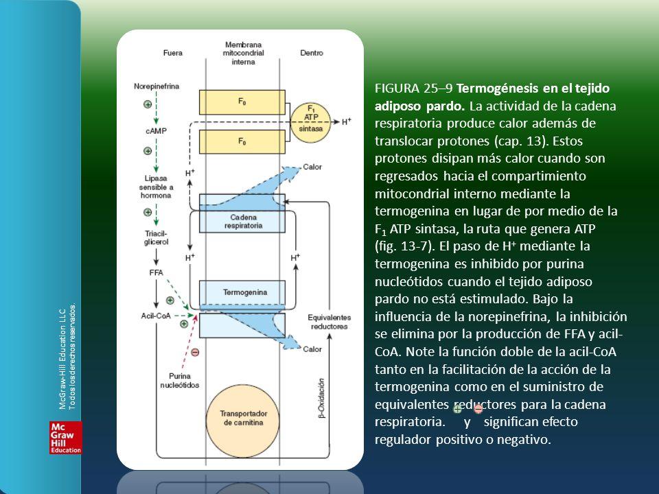 FIGURA 25–9 Termogénesis en el tejido adiposo pardo. La actividad de la cadena respiratoria produce calor además de translocar protones (cap. 13). Est