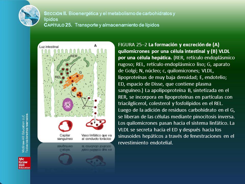 FIGURA 25–2 La formación y excreción de (A) quilomicrones por una célula intestinal y (B) VLDL por una célula hepática. (RER, retículo endoplásmico ru