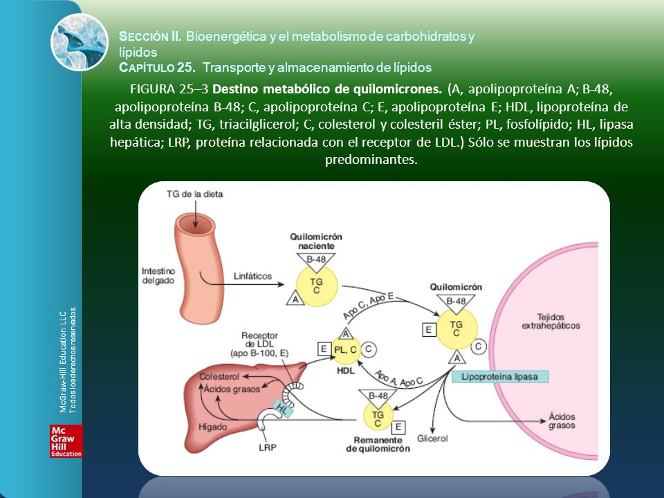 FIGURA 25–3 Destino metabólico de quilomicrones. (A, apolipoproteína A; B-48, apolipoproteína B-48; C, apolipoproteína C; E, apolipoproteína E; HDL, l