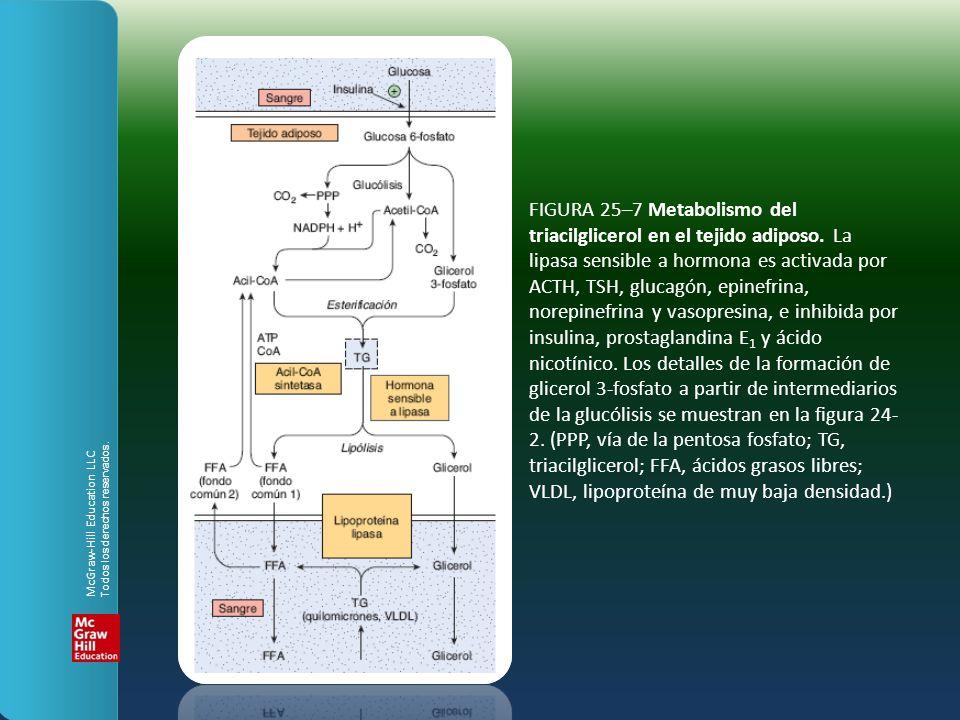 FIGURA 25–7 Metabolismo del triacilglicerol en el tejido adiposo. La lipasa sensible a hormona es activada por ACTH, TSH, glucagón, epinefrina, norepi