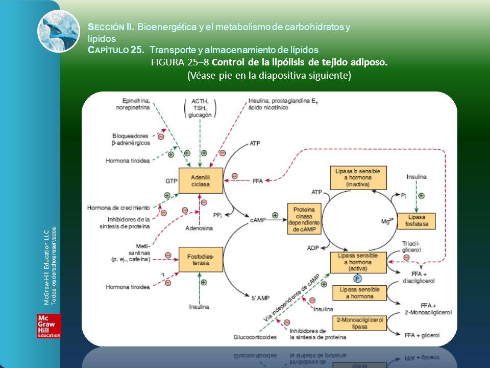 FIGURA 25–8 Control de la lipólisis de tejido adiposo. (Véase pie en la diapositiva siguiente) S ECCIÓN II. Bioenergética y el metabolismo de carbohid