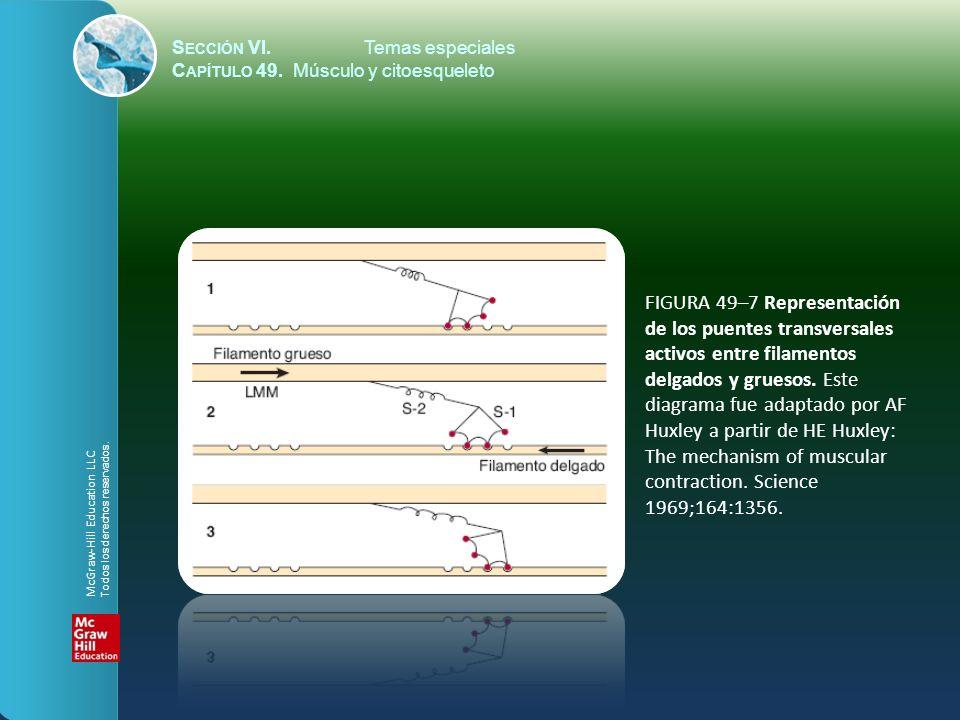 S ECCIÓN VI.Temas especiales C APÍTULO 49. Músculo y citoesqueleto FIGURA 49–7 Representación de los puentes transversales activos entre filamentos de