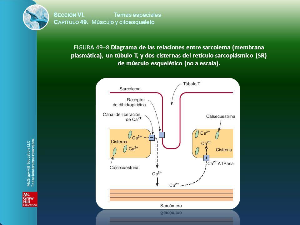 S ECCIÓN VI.Temas especiales C APÍTULO 49. Músculo y citoesqueleto FIGURA 49–8 Diagrama de las relaciones entre sarcolema (membrana plasmática), un tú