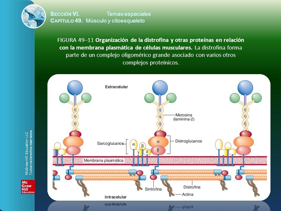 S ECCIÓN VI.Temas especiales C APÍTULO 49. Músculo y citoesqueleto FIGURA 49–11 Organización de la distrofina y otras proteínas en relación con la mem