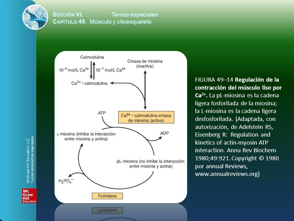S ECCIÓN VI.Temas especiales C APÍTULO 49. Músculo y citoesqueleto FIGURA 49–14 Regulación de la contracción del músculo liso por Ca 2+. La pL-miosina