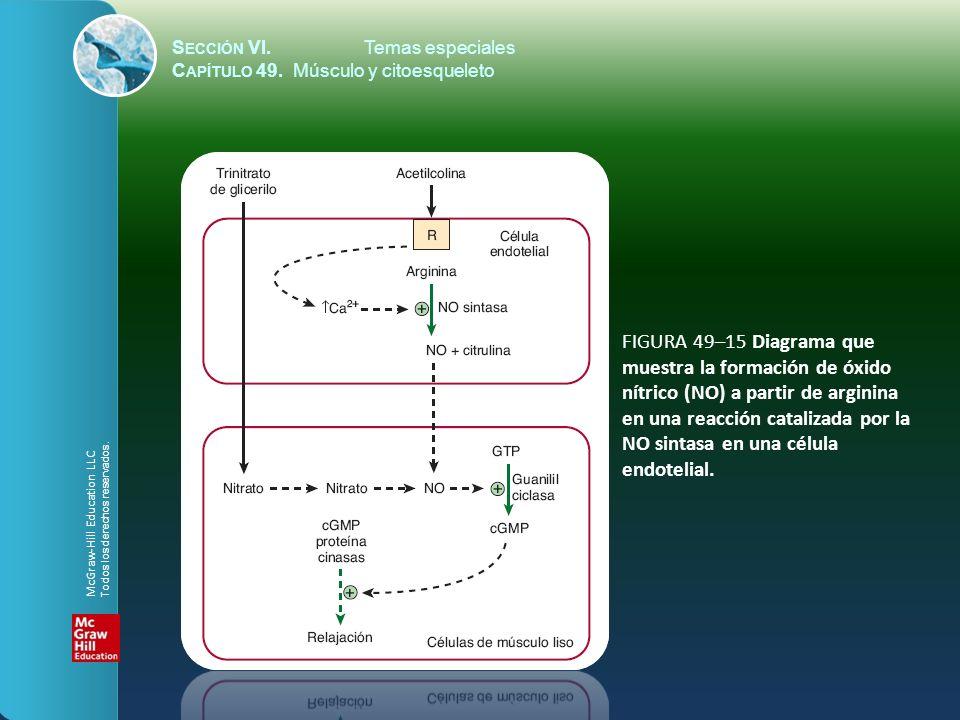 S ECCIÓN VI.Temas especiales C APÍTULO 49. Músculo y citoesqueleto FIGURA 49–15 Diagrama que muestra la formación de óxido nítrico (NO) a partir de ar