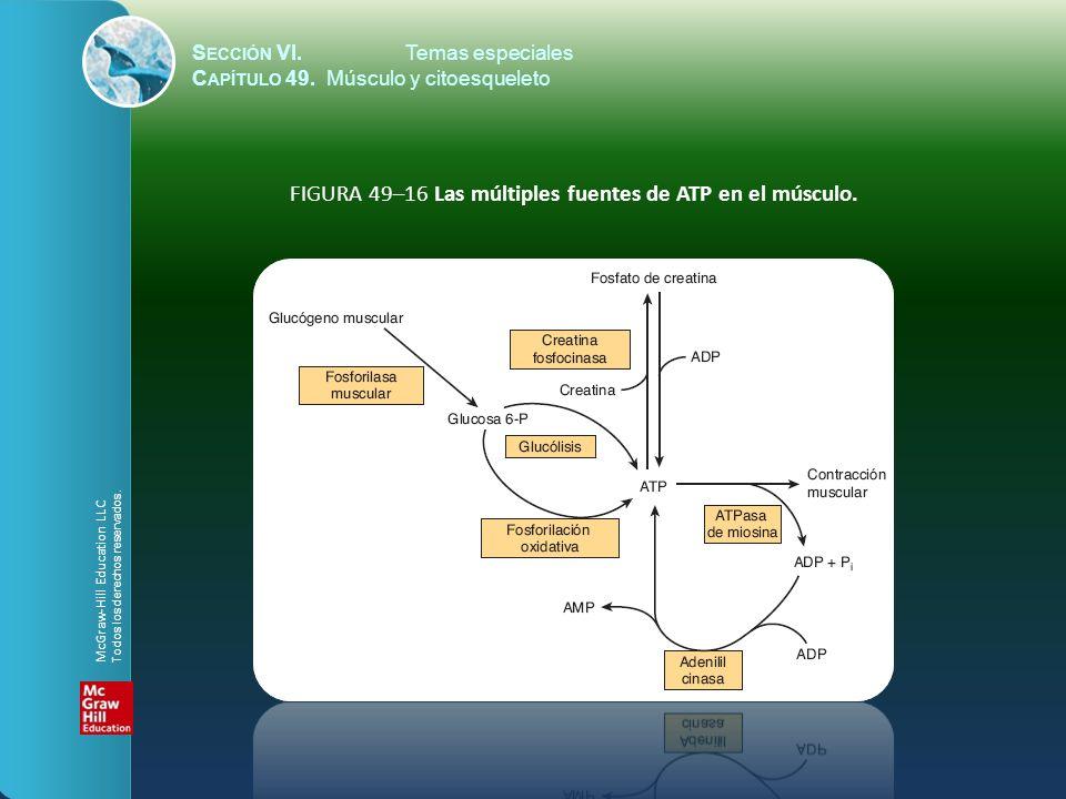 S ECCIÓN VI.Temas especiales C APÍTULO 49. Músculo y citoesqueleto FIGURA 49–16 Las múltiples fuentes de ATP en el músculo. McGraw-Hill Education LLC