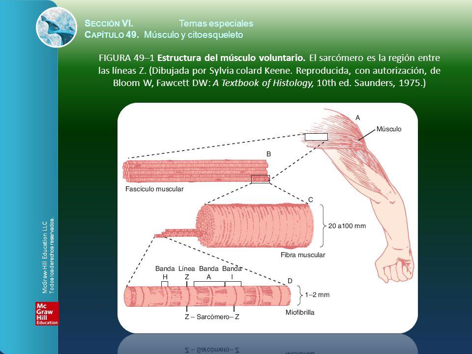 S ECCIÓN VI.Temas especiales C APÍTULO 49. Músculo y citoesqueleto FIGURA 49–1 Estructura del músculo voluntario. El sarcómero es la región entre las