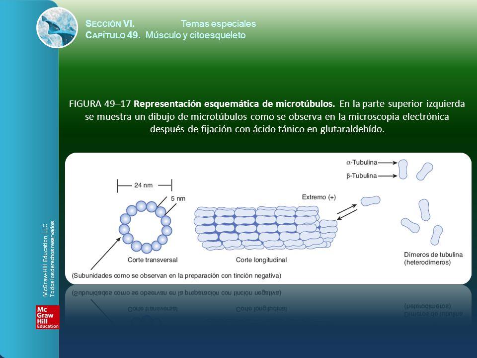 S ECCIÓN VI.Temas especiales C APÍTULO 49. Músculo y citoesqueleto FIGURA 49–17 Representación esquemática de microtúbulos. En la parte superior izqui