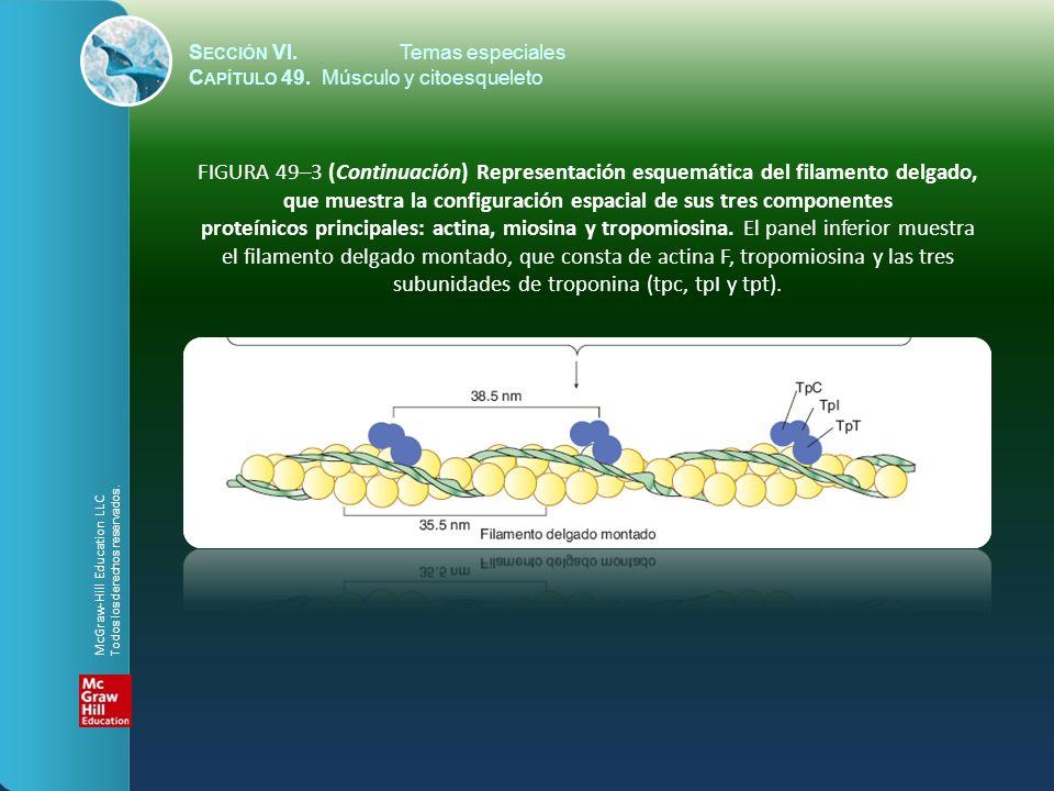 S ECCIÓN VI.Temas especiales C APÍTULO 49. Músculo y citoesqueleto FIGURA 49–3 (Continuación) Representación esquemática del filamento delgado, que mu