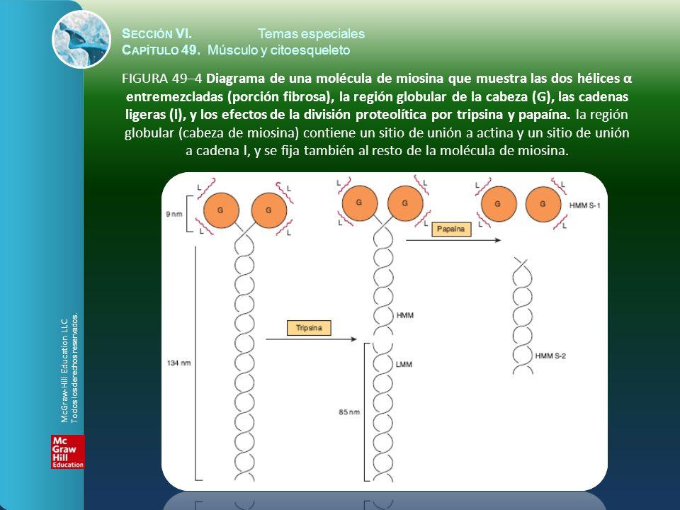 S ECCIÓN VI.Temas especiales C APÍTULO 49. Músculo y citoesqueleto FIGURA 49–4 Diagrama de una molécula de miosina que muestra las dos hélices α entre