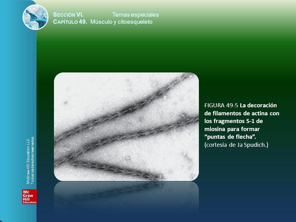 S ECCIÓN VI.Temas especiales C APÍTULO 49. Músculo y citoesqueleto FIGURA 49-5 La decoración de filamentos de actina con los fragmentos S-1 de miosina