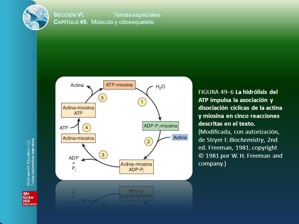 S ECCIÓN VI.Temas especiales C APÍTULO 49. Músculo y citoesqueleto FIGURA 49–6 La hidrólisis del ATP impulsa la asociación y disociación cíclicas de l