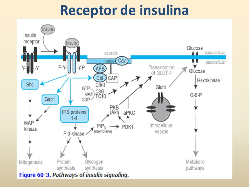 Insulina Acción intermedia NPH (Neutral Protamine Hagedorn) Protamina(+) y zinc + insulina.