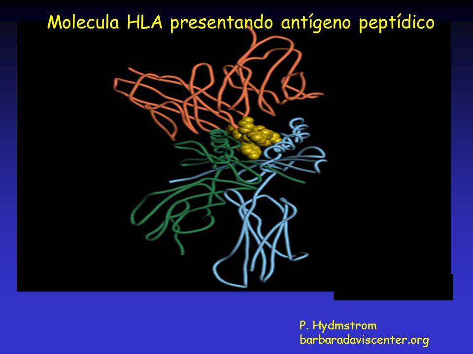 P. Hydmstrom barbaradaviscenter.org Molecula HLA presentando antígeno peptídico