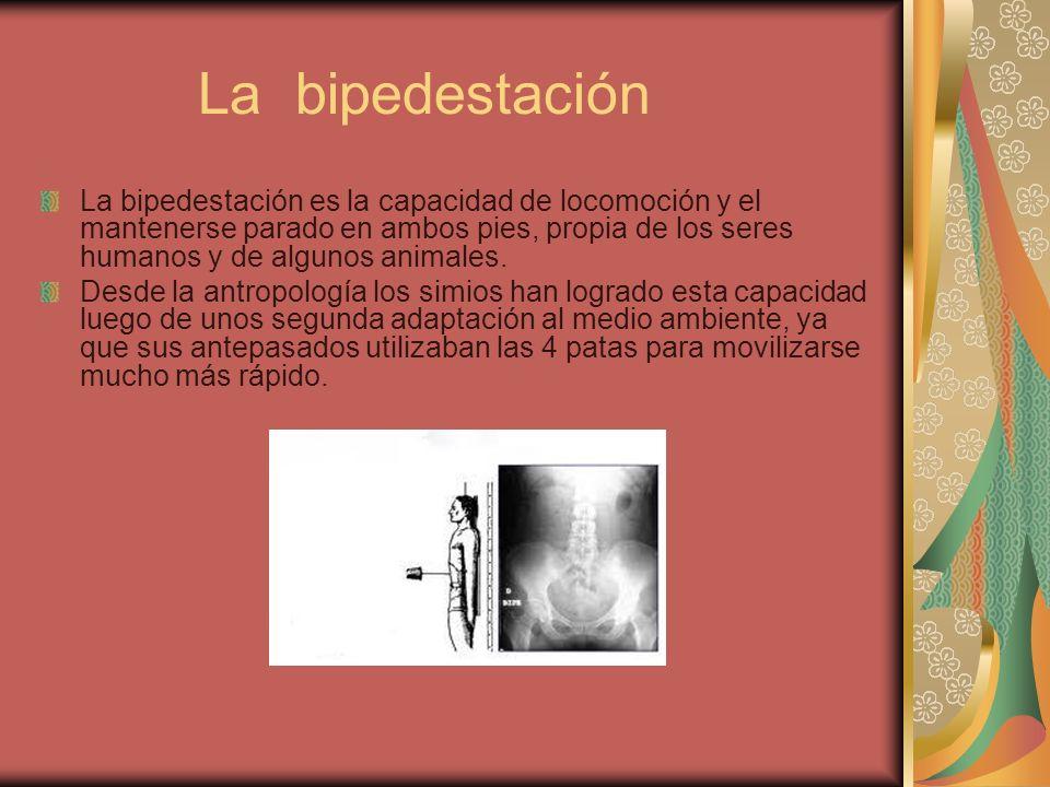 La bipedestación La bipedestación es la capacidad de locomoción y el mantenerse parado en ambos pies, propia de los seres humanos y de algunos animale