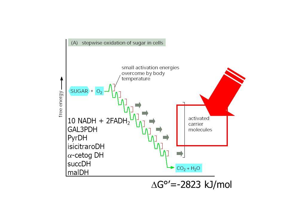 G°=-2823 kJ/mol 10 NADH + 2FADH 2 GAL3PDH PyrDH isicitraroDH -cetog DH succDH malDH