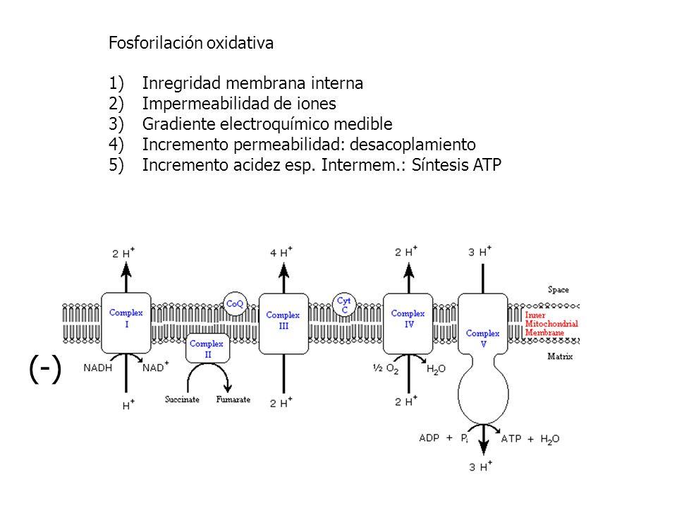 Fosforilación oxidativa 1)Inregridad membrana interna 2)Impermeabilidad de iones 3)Gradiente electroquímico medible 4)Incremento permeabilidad: desaco