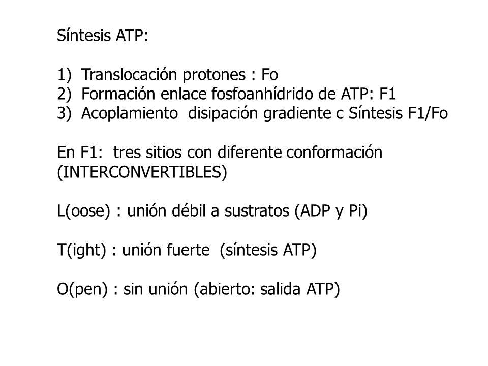 Síntesis ATP: 1)Translocación protones : Fo 2)Formación enlace fosfoanhídrido de ATP: F1 3)Acoplamiento disipación gradiente c Síntesis F1/Fo En F1: t