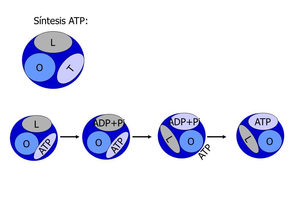 Síntesis ATP: L O T L O ATP ADP+Pi O ATP ADP+Pi O L ATP O L