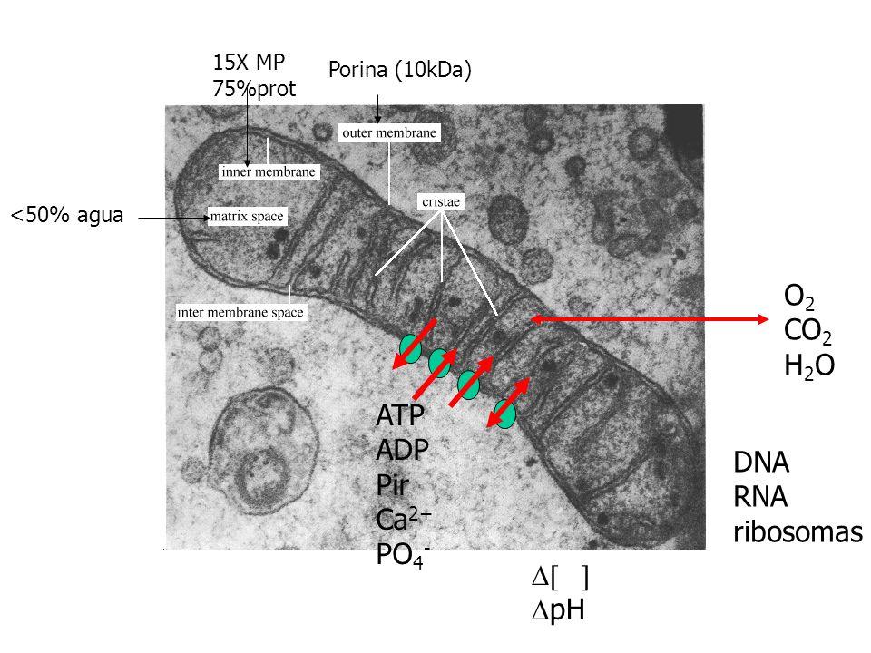 <50% agua 15X MP 75%prot Porina (10kDa) O 2 CO 2 H 2 O ATP ADP Pir Ca 2+ PO 4 - pH DNA RNA ribosomas
