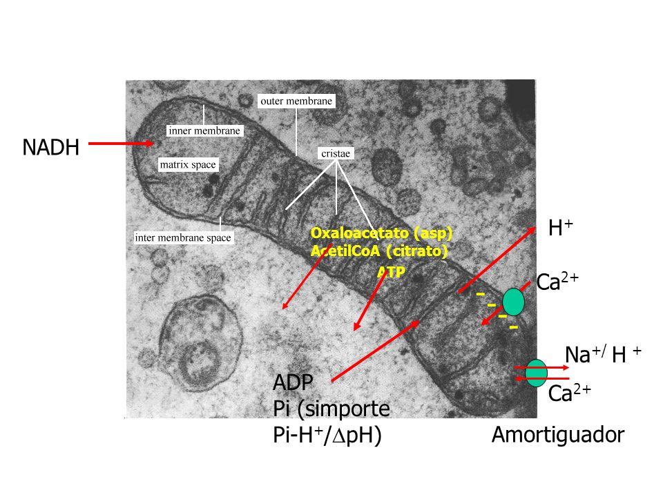 Control síntesis ATP: NADH Cit C: casi en equilibrio Reversible por adición de ATP Reacción Citocromo oxidasa: irreversible : control por sus sustrato: Cit c (reducido) Alto NADH/NAD+ : bajo [ATP]/([ADP][Pi]) : alto Cit c: Activación Citocromo oxidasa Transporte nucleótidos adenina y Pi : limitante Translocador ADP-ATP