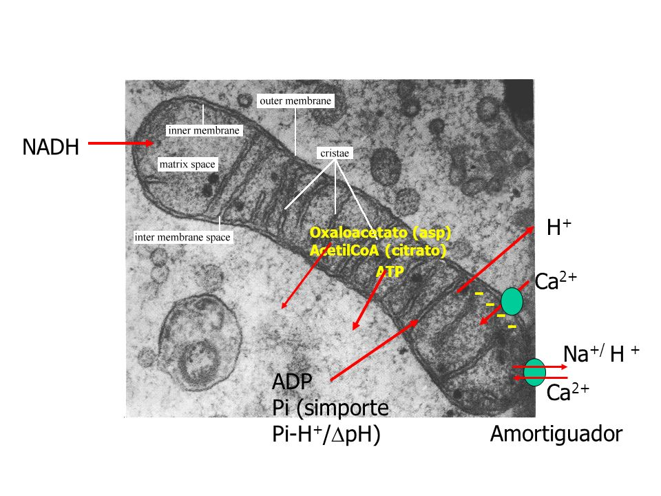 ½ O 2 + NADH + 2e - H 2 O + NAD + G°=- 218kJ /mol 218kJ energía libre ADP + Pi ATP 30.5kJ/mol