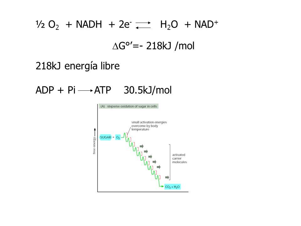 E ° -0.4 -0.2 0 0.2 0.4 0.6 0.8 NADH NAD + (-0.315 V) Complejo I ( G°= -69.5 kJ/mol) Complejo IICoQ (0.045V) Complejo III ( G°= -36.7 kJ/mol) CytC (0.235V) Complejo IV ( G°= -112 kJ/mol) 2H + + ½ O 2 H 2 O (0.815 V) (+0.03V) Succ FADH2 Fum ADP+Pi Rot/amytal ATP ADP+Pi Antimicina ATP ADP+Pi CN - ATP