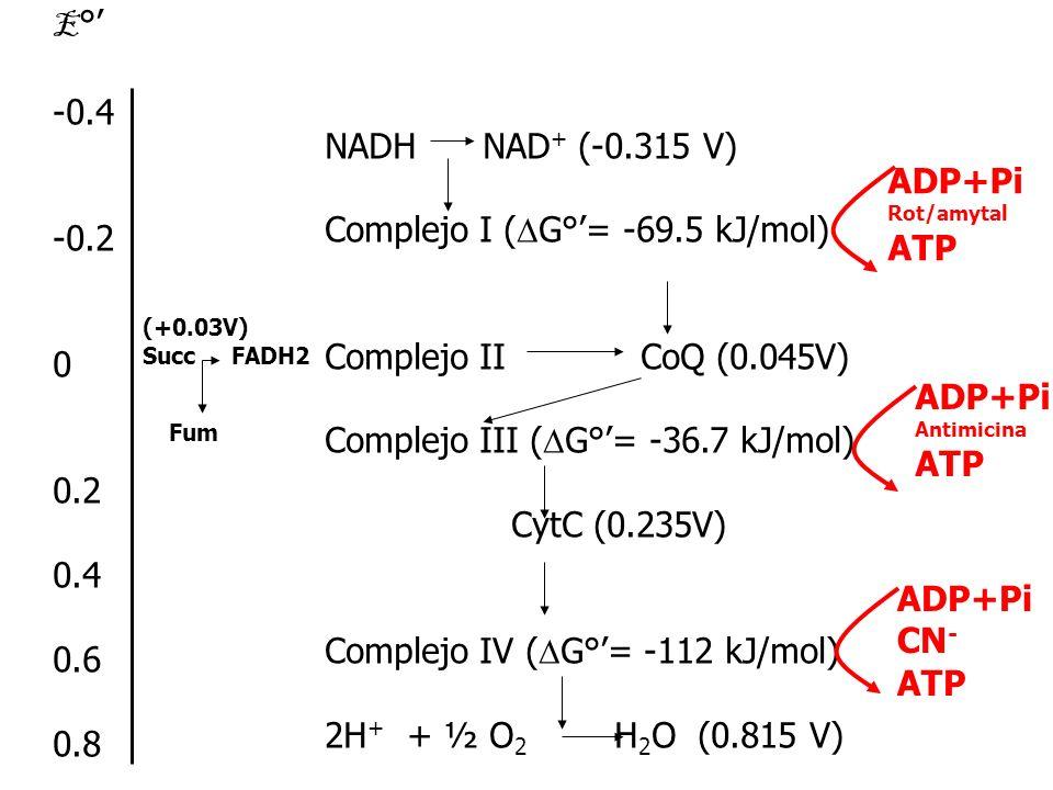 E ° -0.4 -0.2 0 0.2 0.4 0.6 0.8 NADH NAD + (-0.315 V) Complejo I ( G°= -69.5 kJ/mol) Complejo IICoQ (0.045V) Complejo III ( G°= -36.7 kJ/mol) CytC (0.