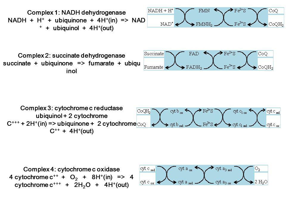 Complex 1: NADH dehydrogenase NADH + H + + ubiquinone + 4H + (in) => NAD + + ubiquinol + 4H + (out) Complex 2: succinate dehydrogenase succinate + ubi