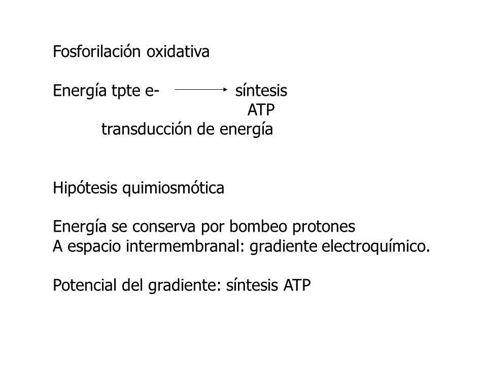 Fosforilación oxidativa Energía tpte e- síntesis ATP transducción de energía Hipótesis quimiosmótica Energía se conserva por bombeo protones A espacio