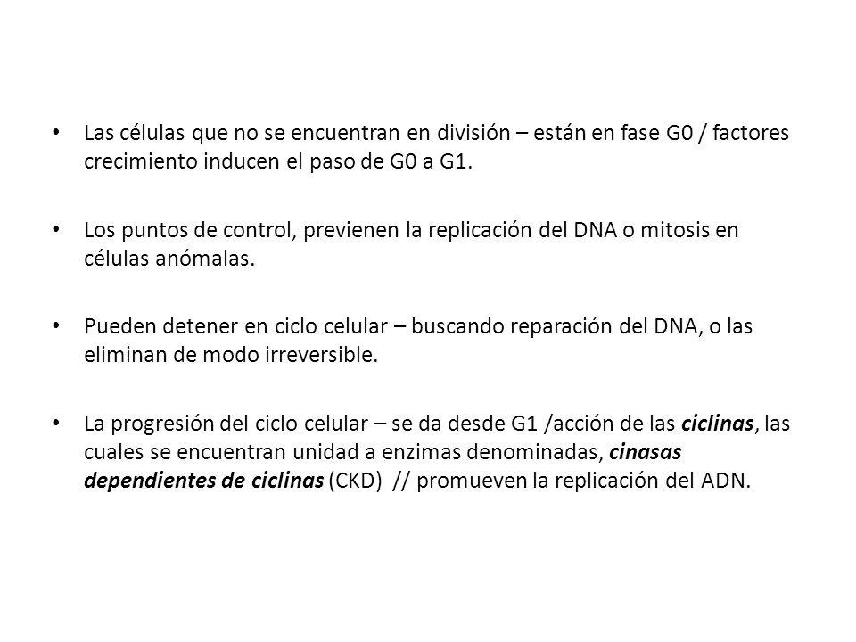 Las células que no se encuentran en división – están en fase G0 / factores crecimiento inducen el paso de G0 a G1. Los puntos de control, previenen la