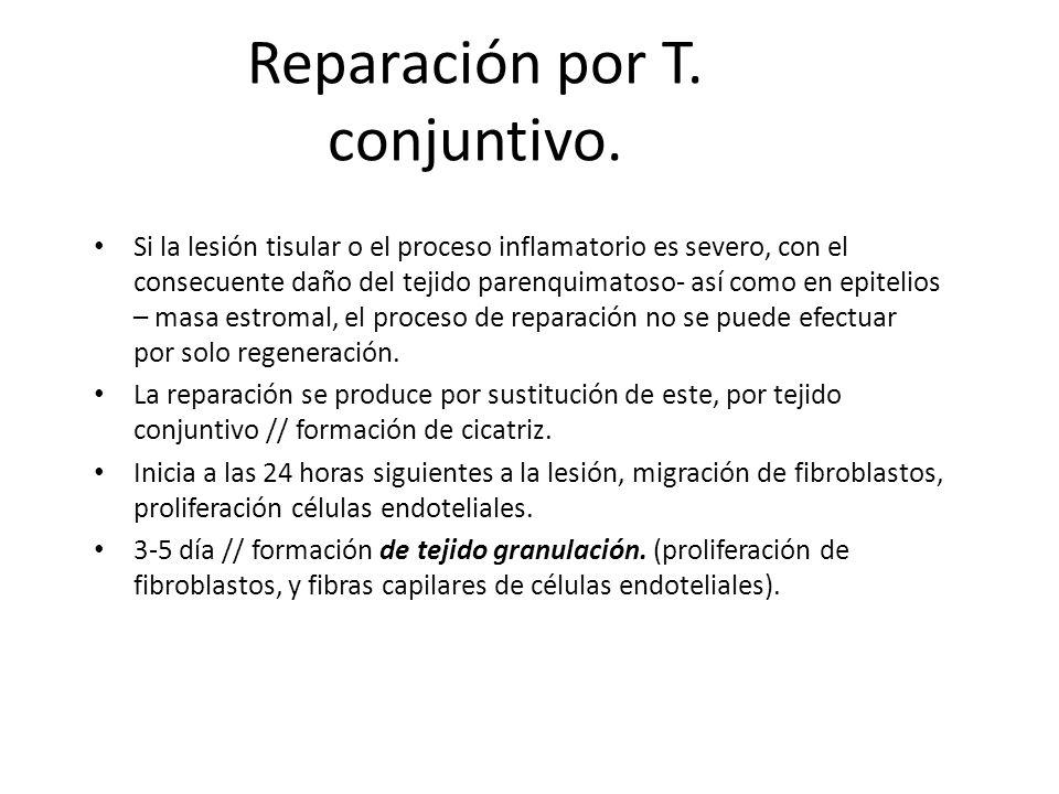 Reparación por T. conjuntivo. Si la lesión tisular o el proceso inflamatorio es severo, con el consecuente daño del tejido parenquimatoso- así como en