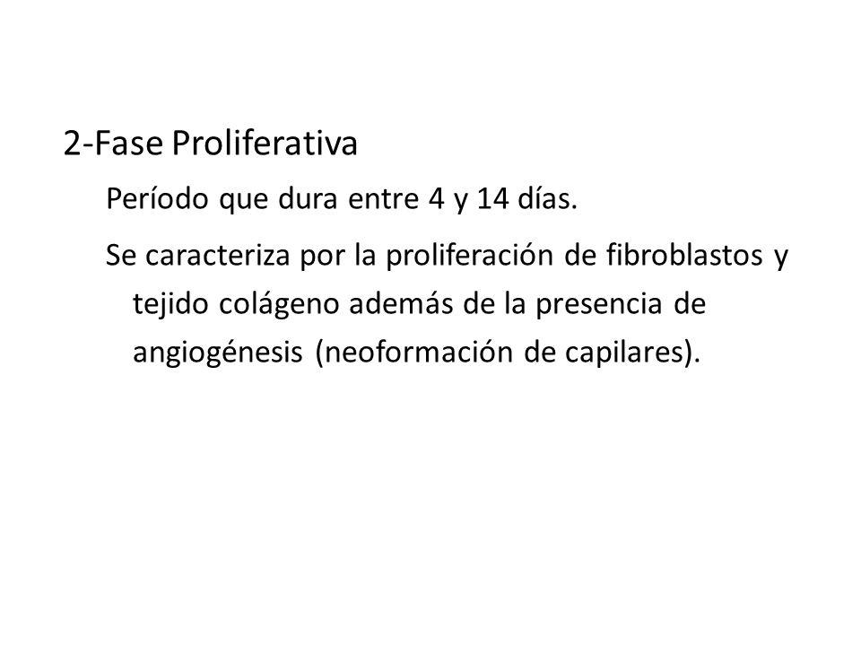 CICATRIZACION 2-Fase Proliferativa Período que dura entre 4 y 14 días. Se caracteriza por la proliferación de fibroblastos y tejido colágeno además de