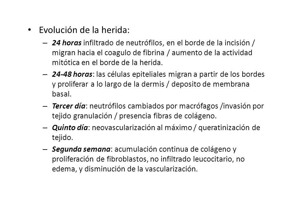 Evolución de la herida: – 24 horas infiltrado de neutrófilos, en el borde de la incisión / migran hacia el coagulo de fibrina / aumento de la activida